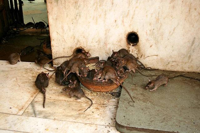 Храм крыс в Индии