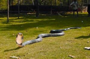 королевская кобра фото
